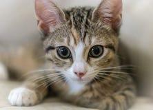 Ung gullig kattunge Royaltyfri Bild
