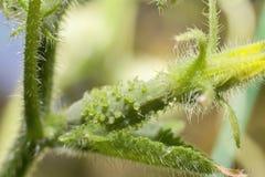 Ung gurka som tätt växer i gardenplants upp Fotografering för Bildbyråer