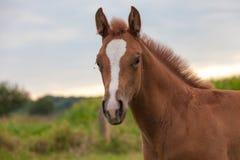 Ung häst Arkivbilder