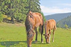 Ung häst som är gammal och, jämförelse Arkivfoto