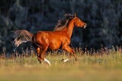 Ung häst som galopperar i fält royaltyfri bild