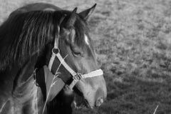 Ung häst som har en mer nära blick Fotografering för Bildbyråer