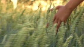 Ung hand för flickor för vuxen kvinna för blandat lopp som kvinnlig känner överkanten av ett fält av korn att kantjustera på soln stock video