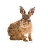 Ung hare 3 isolerade gamla för veckor Royaltyfria Foton