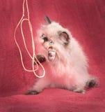 Ung Himalayan persisk kattunge för blå punkt Fotografering för Bildbyråer