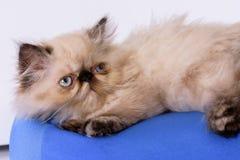 Ung Himalayan persisk kattunge för blå punkt Arkivfoto