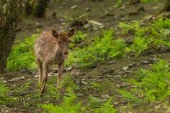 Ung hjort Arkivfoton