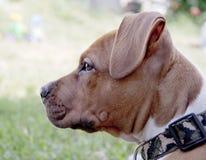 Ung hund Royaltyfri Fotografi