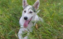 Ung hund för blandad avel som ligger i löst gräs för sommar royaltyfri foto