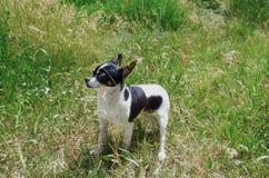 Ung hundchihuahua i trädgården Royaltyfri Foto