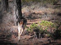 Ung hundspring till och med skogen royaltyfria foton