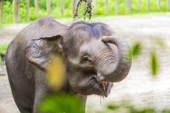 Ung indisk elefant royaltyfri foto