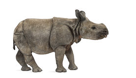 Ung indisk en-horned noshörning (8 gamla månader) Arkivbild