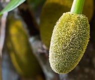 Ung jackfruit Arkivfoton