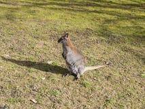 Ung känguru Fotografering för Bildbyråer