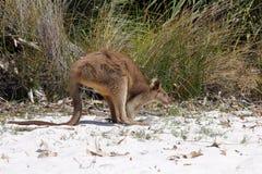 Ung känguru på vit sand arkivbilder