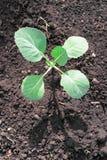 Ung kålplanta i jord Royaltyfri Foto