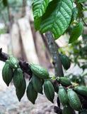 Ung kakao på träd Royaltyfria Bilder