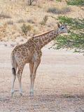 Ung Kalahari giraff Royaltyfri Fotografi
