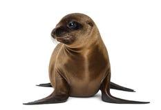 Ung Kalifornien sjölejon Arkivbilder