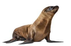 Ung Kalifornien sjölejon Fotografering för Bildbyråer