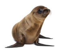 Ung Kalifornien sjölejon Arkivbild