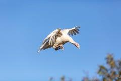 Ung kalkon som flyger över träd Fotografering för Bildbyråer