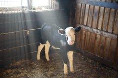Ung kalv i stallet Royaltyfri Bild