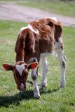 Ung kalv på det nya gräset Fotografering för Bildbyråer