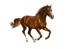 Ung kastanjebrun häst Fotografering för Bildbyråer