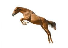 Ung kastanjebrun hästbanhoppning Royaltyfri Foto