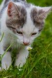 Ung kattunge och en tusensköna Arkivfoton
