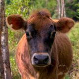 Ung ko som stirrar på kamera royaltyfri fotografi