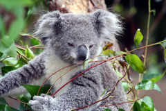 Ung Koala royaltyfri fotografi