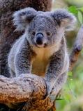 Ung koala på en eukalyptusträd i Queensland arkivfoto
