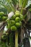 Ung kokosnöt Fotografering för Bildbyråer