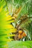 Ung kokosnöt på en palmträd Arkivfoto