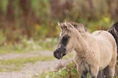 Ung Konik häst royaltyfri bild