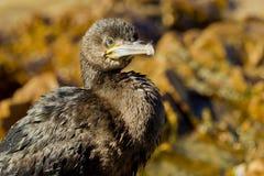 Ung kormoranfågel Arkivbild