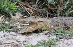 Ung krokodil Royaltyfri Bild