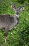 Ung Kudu antilop Royaltyfria Foton