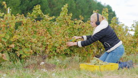 Ung kvinna med hörlurar som kör i vingården Klipper mogna grupper av vita druvor som lyssnar till musik arkivfilmer