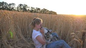 Ung kvinna med sammanträde för blont hår bland mogna spikelets på ängen och att slå hennes siberian skrovligt på solnedgången Lyc stock video