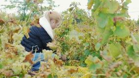 Ung kvinna som arbetar i vingården arkivfilmer