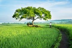 Ung kvinna som kopplar av i risfältfältet royaltyfria foton