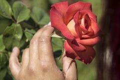 Ung kvinna som luktar en ros Arkivfoton