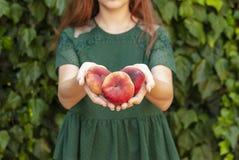 ung kvinna som rymmer några röda plana persikor i hennes händer Prunus Persica platycarpa Kinesisk plan persika Variationer: royaltyfria foton