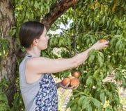 Ung kvinna som väljer nya persikor Arkivbilder