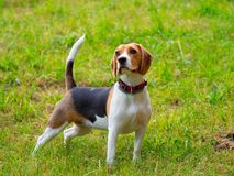 Ung kvinnlig beaglehund Arkivbilder