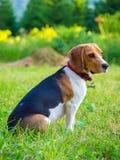 Ung kvinnlig beaglehund Royaltyfria Foton